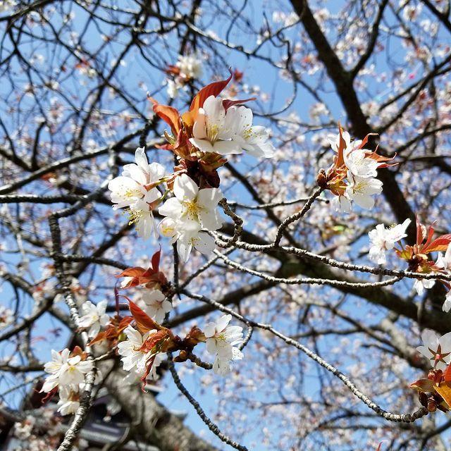 伏見桜_005