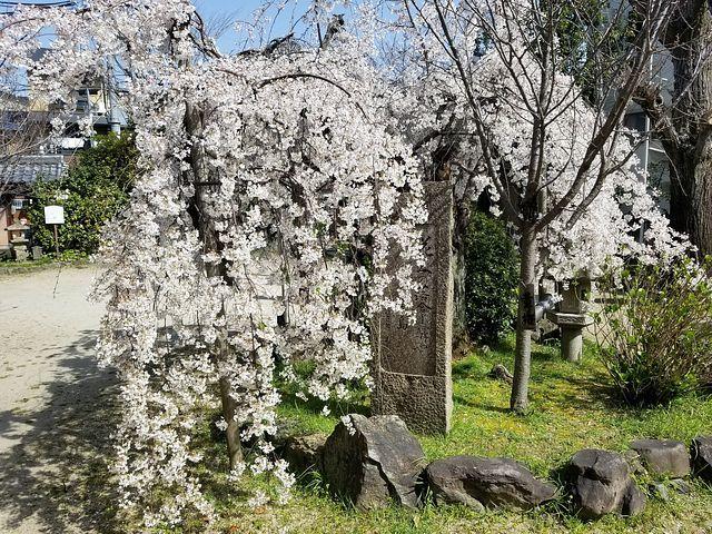 伏見桜_006