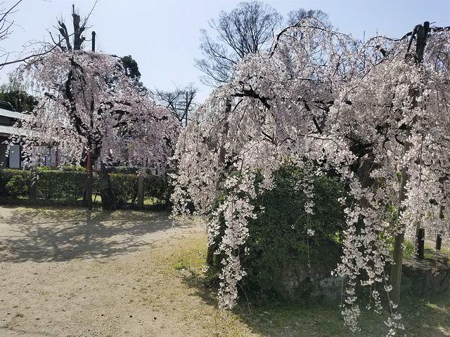 伏見桜_007