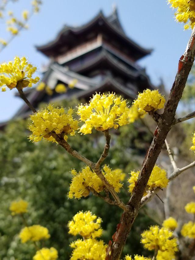 伏見桜_012