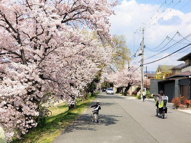 京都桜0404(小)_002