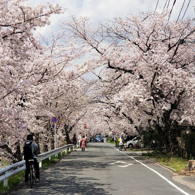 京都桜0404(小)_003