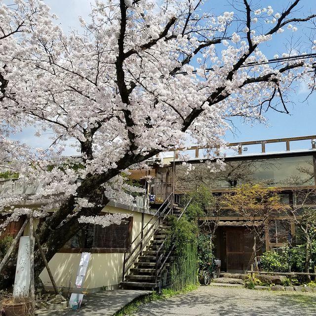 京都桜0404(小)_004