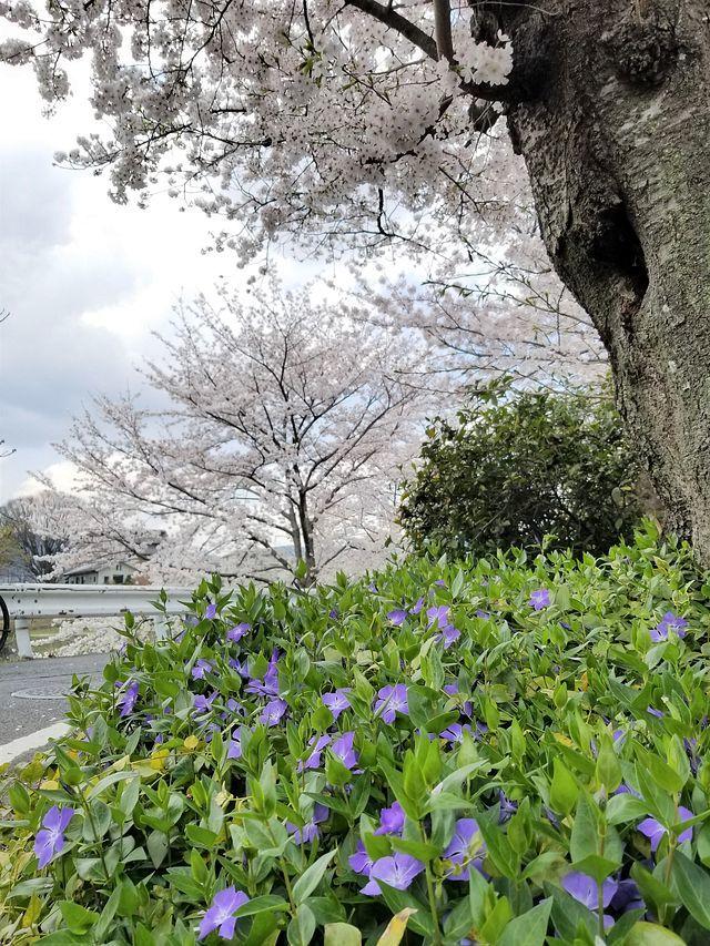 京都桜0404(小)_005