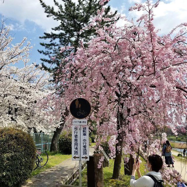 京都桜0404(小)_009