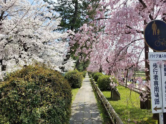 京都桜0404(小)_011