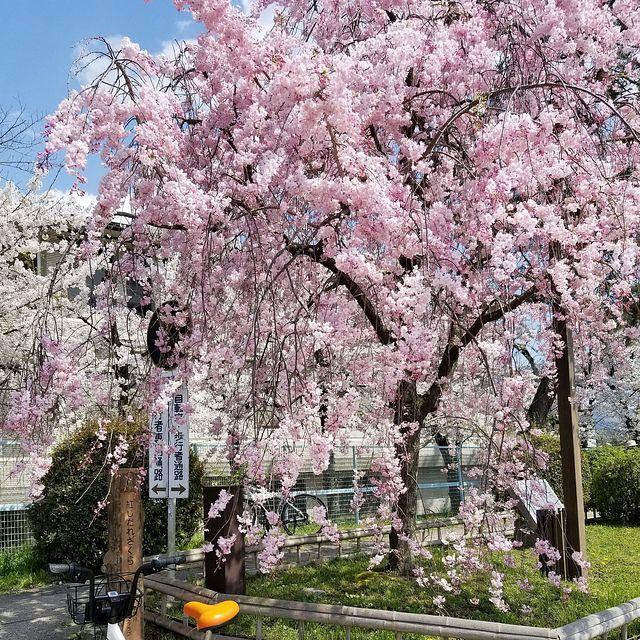 京都桜0404(小)_012
