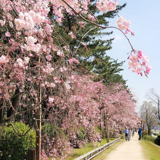 京都桜0404(小)_013