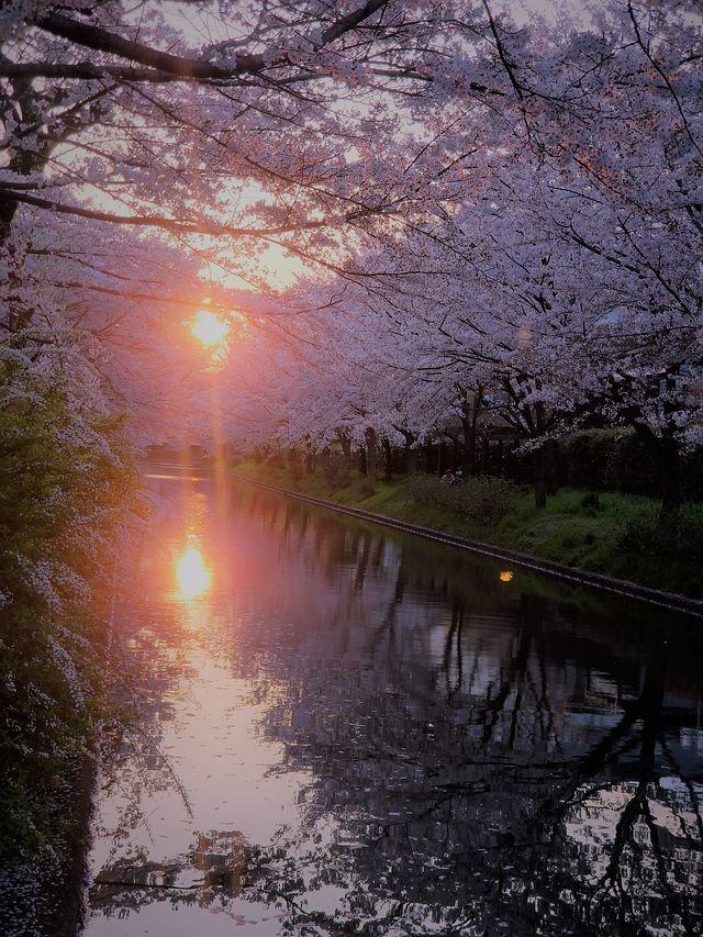 伏見桜0404(小)_004