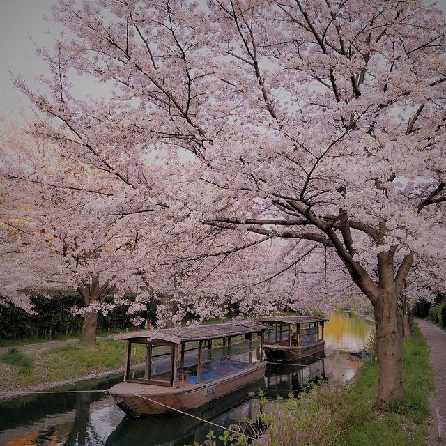 伏見桜0404(小)_006