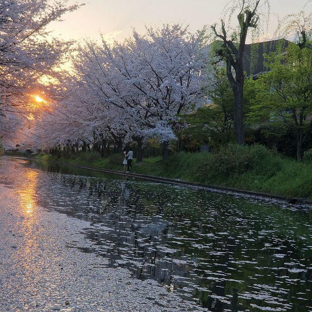 伏見桜0404(小)_007