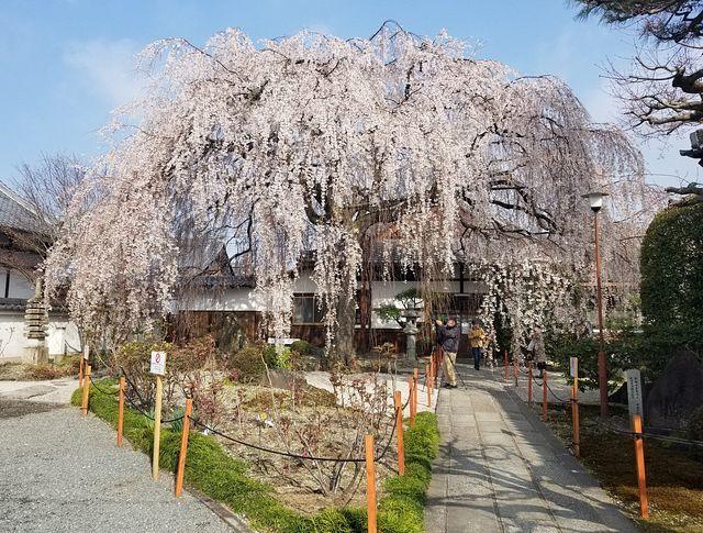 桜210326(小)_002