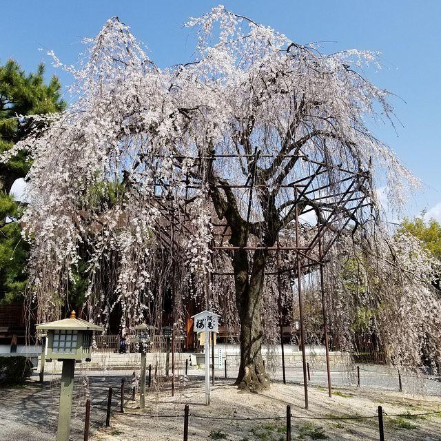 桜210326(小)_014