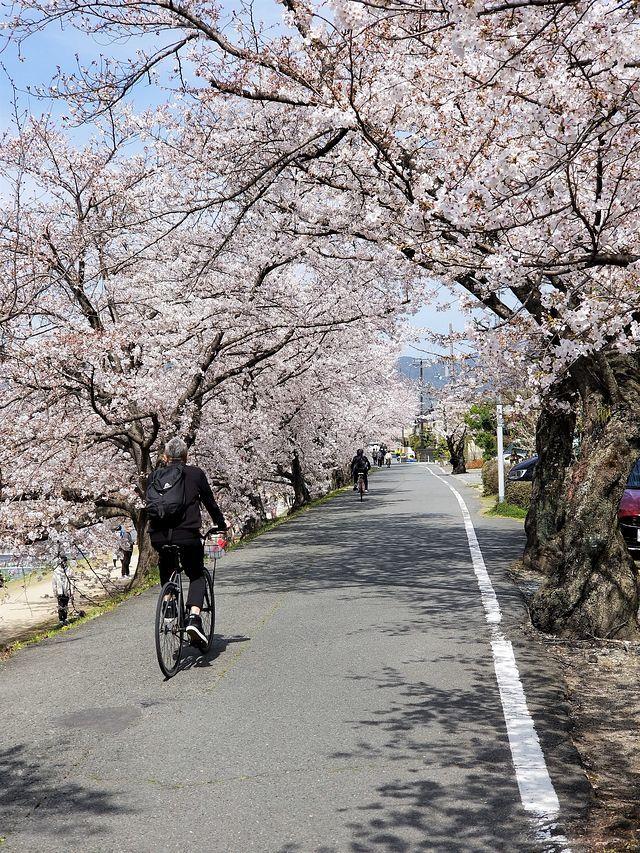 京都桜2(小)_001