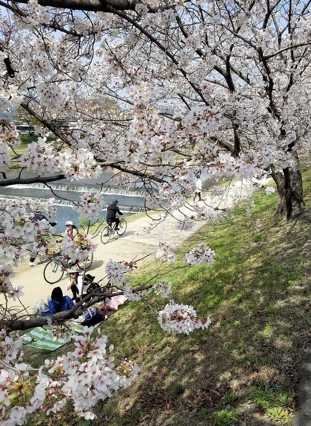 京都桜2(小)_002