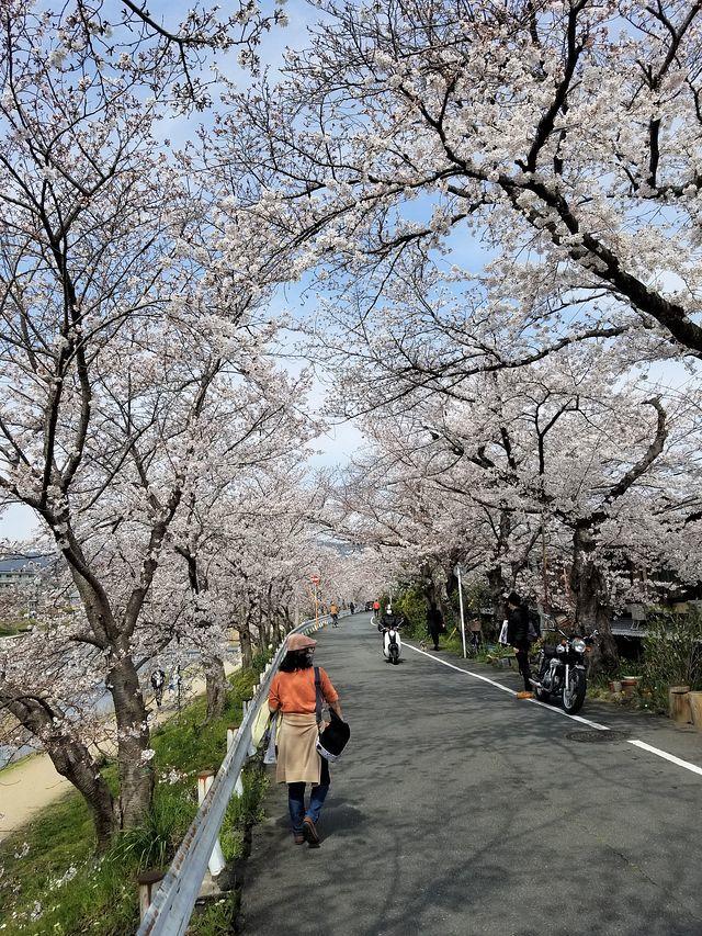 京都桜2(小)_003