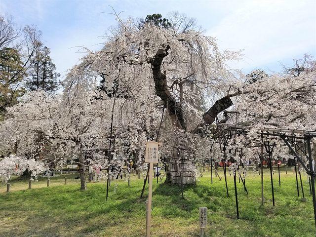 京都桜2(小)_006