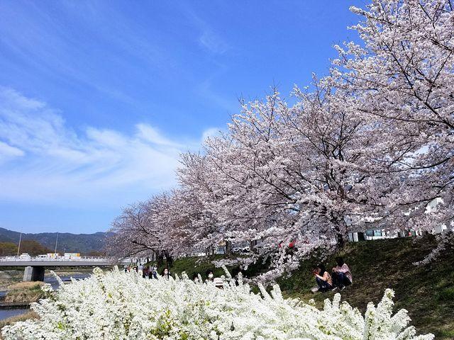 京都桜2(小)_007