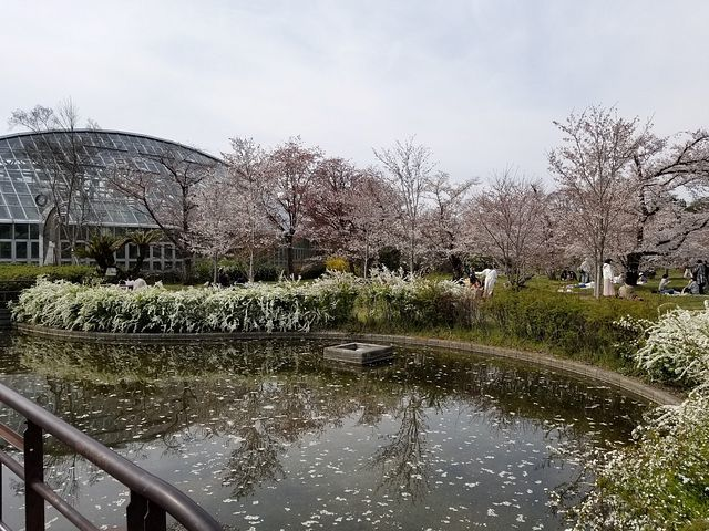 京都桜2(小)_011