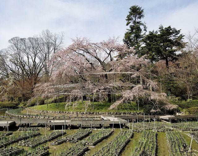 京都桜2(小)_012