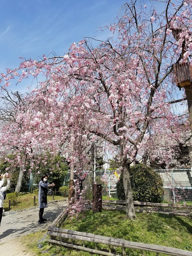 京都桜2(小)_015