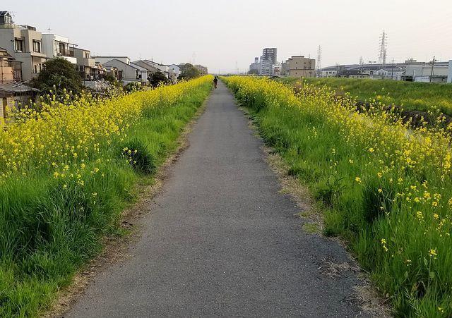 伏見の桜(小)_001