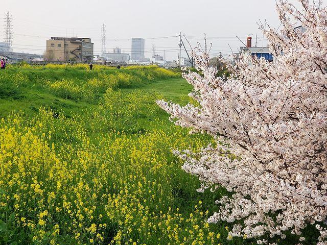 伏見の桜(小)_002