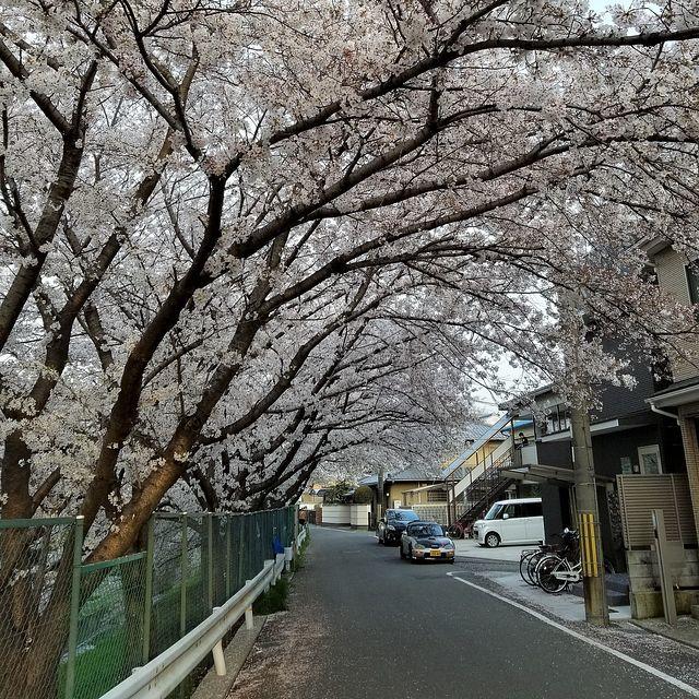 伏見の桜(小)_003