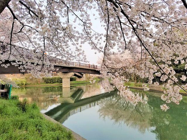 伏見の桜(小)_004