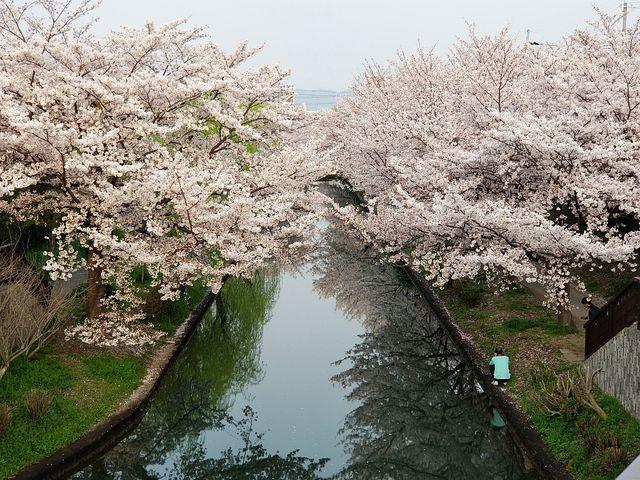 伏見の桜(小)_006