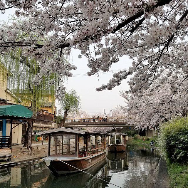 伏見の桜(小)_007