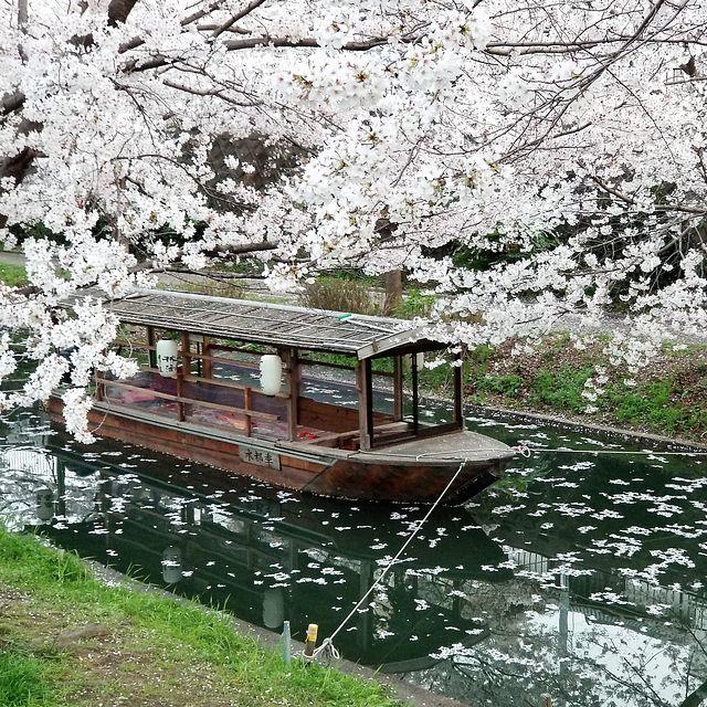 伏見の桜(小)_009