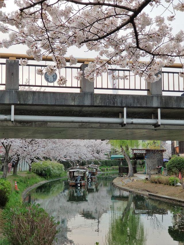 伏見の桜(小)_010