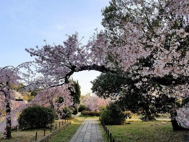 伏見の桜(小)_014