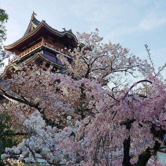 伏見の桜(小)_015