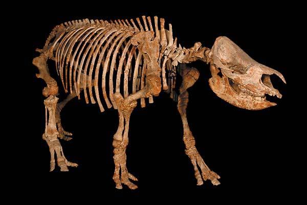 サイの骨格標本
