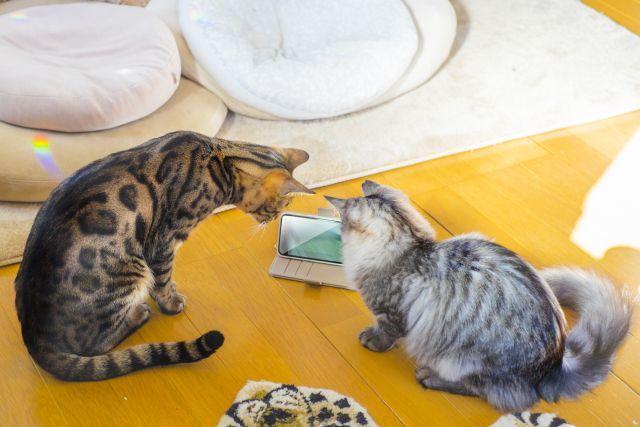 スマートフォンを調べる猫