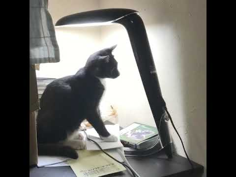 蛍光灯をつける猫