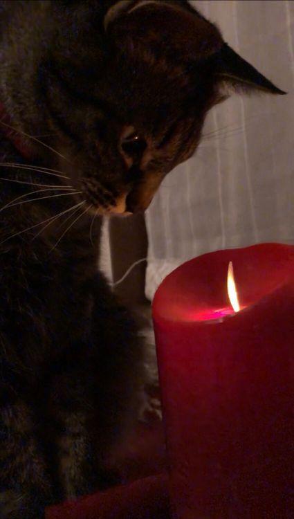 ローソクを見る猫