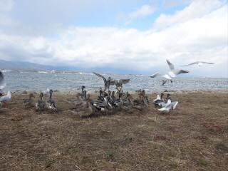 滋賀琵琶湖草津水鳥観察