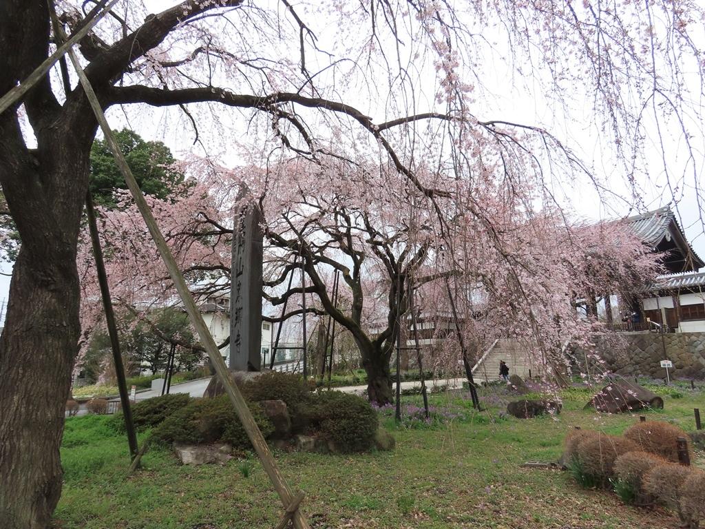 東郷寺の枝垂れ桜(シダレザクラ)その1