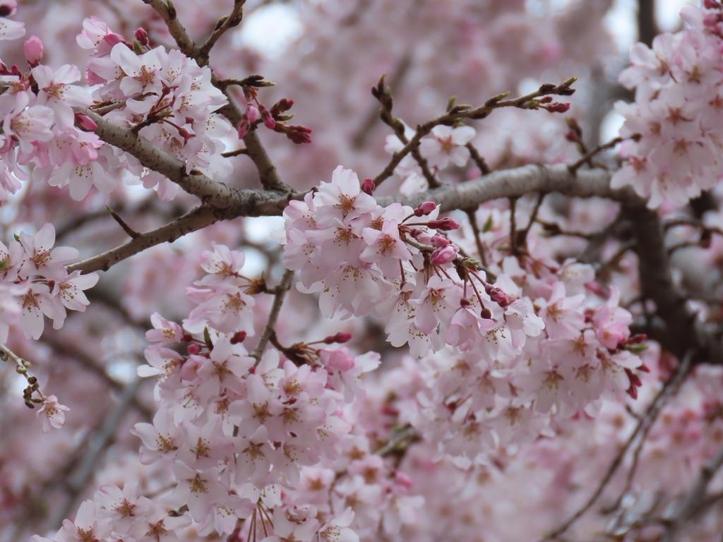 東郷寺の枝垂れ桜(シダレザクラ)その3