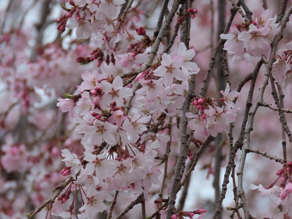 東郷寺の枝垂れ桜(シダレザクラ)その2