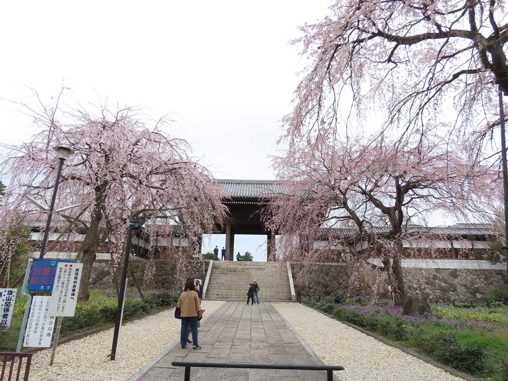 参道から見る枝垂れ桜(シダレザクラ)その2