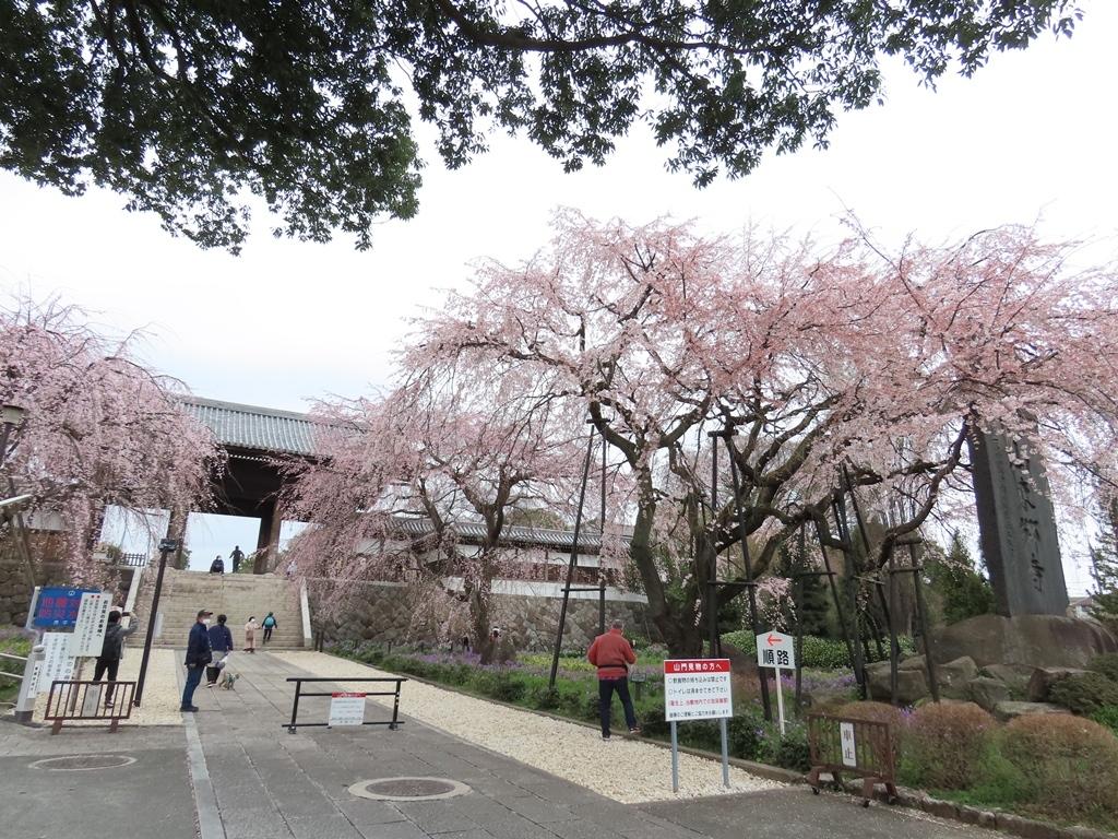 参道から見る枝垂れ桜(シダレザクラ)その1