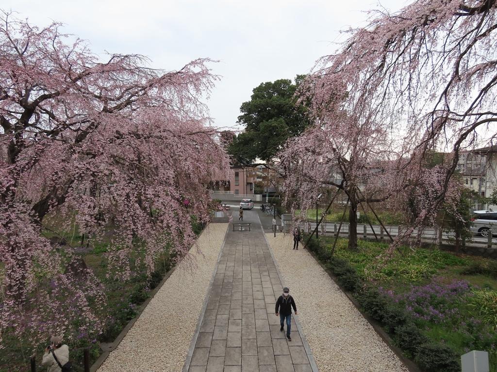 山門から見下ろす枝垂れ桜(シダレザクラ)