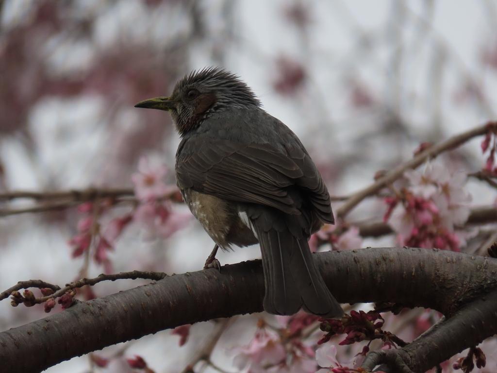 枝垂れ桜(シダレザクラ)の蜜を吸いにきた鵯(ヒヨドリ)