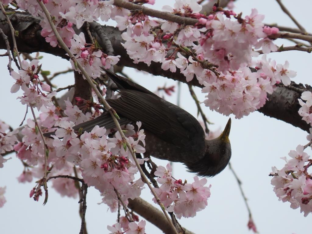 枝垂れ桜(シダレザクラ)の蜜を吸う鵯(ヒヨドリ)その1