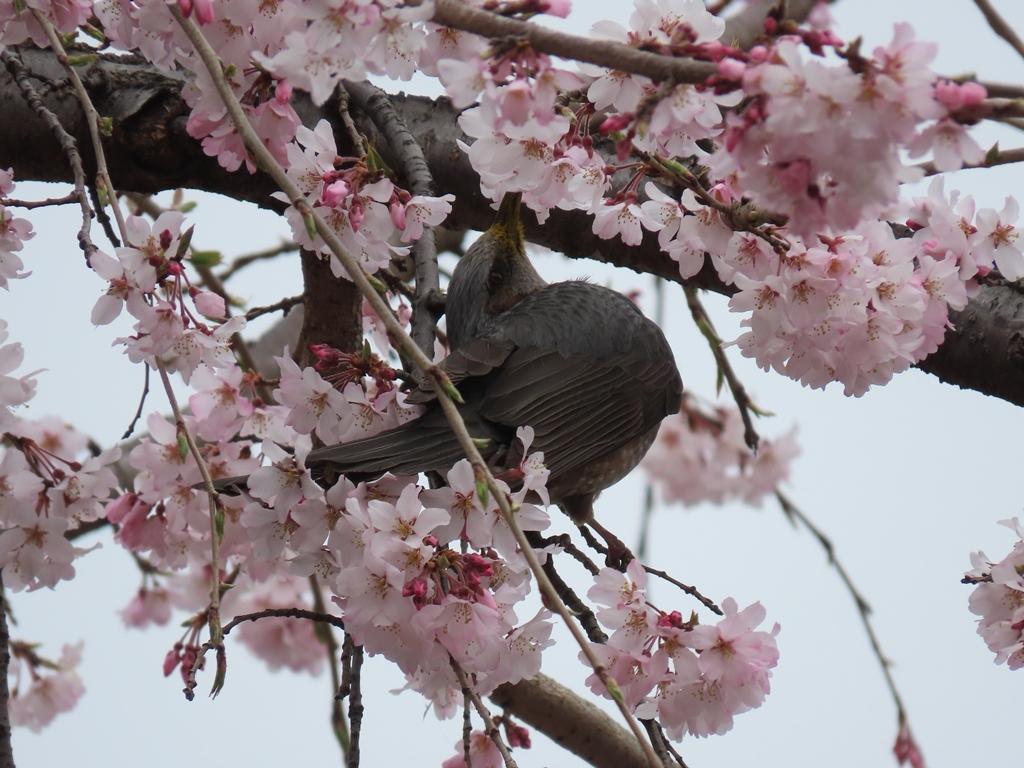 枝垂れ桜(シダレザクラ)の蜜を吸う鵯(ヒヨドリ)その2