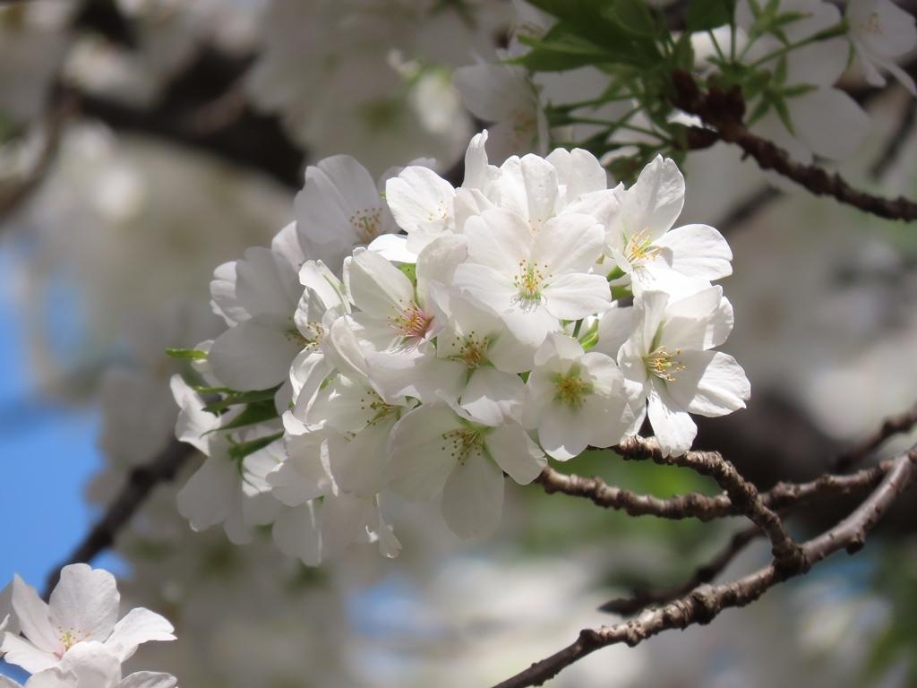 大島桜(オオシマザクラ)という名の桜の花